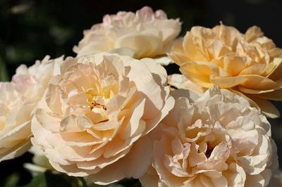 150529_rose01.jpg