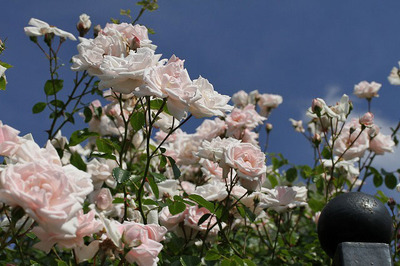 150529_rose02.jpg