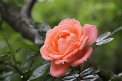 160512_rose03.jpg