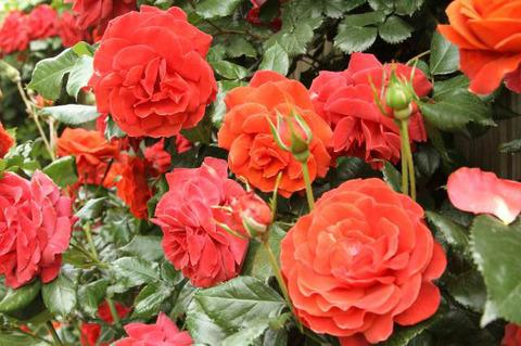190517_rose02.jpg