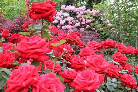 190517_rose04.jpg