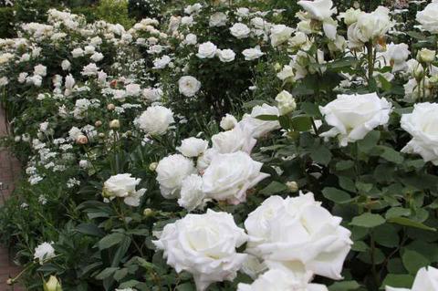 190517_rose05.jpg