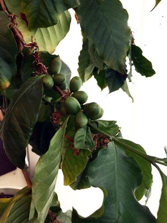 コーヒーの木を見たことがありますか?
