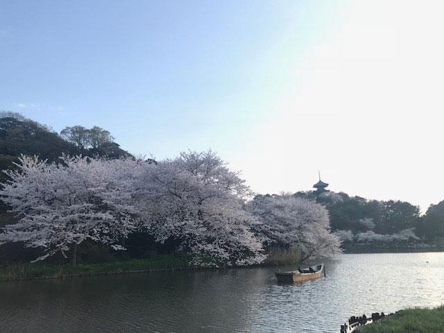 桜の季節ですね。