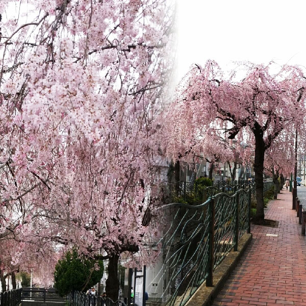 二ヶ領用水沿いをお花見散歩。