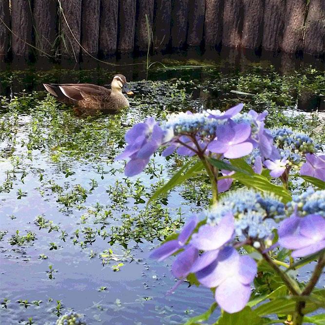 近くの江川にはたくさんの紫陽花。