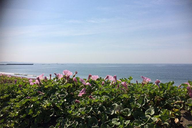 茅ヶ崎の海に浜昼顔。