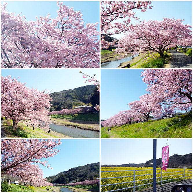 伊豆の河津桜で一足お先に春を堪能。