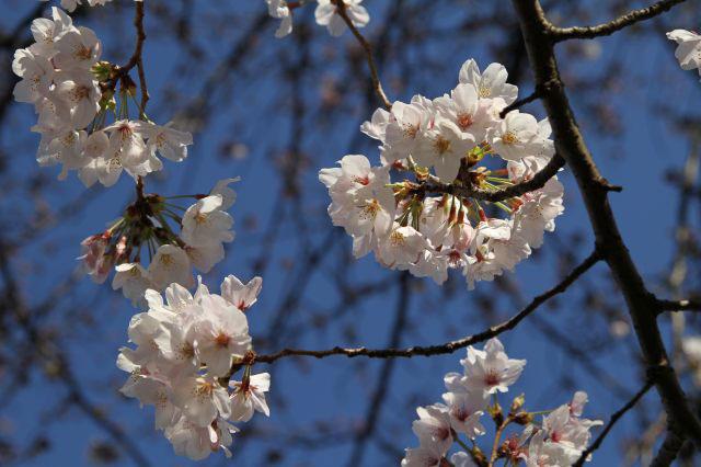 朝、いつもの桜を撮りに。