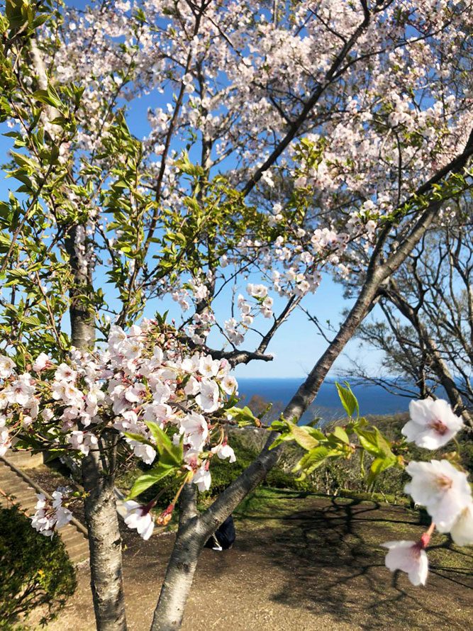 湘南平・高麗山公園の桜。