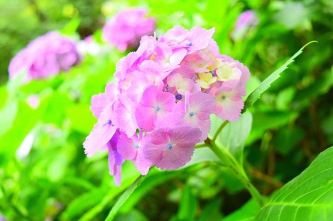 紫陽花で有名な鎌倉の長谷寺へ。
