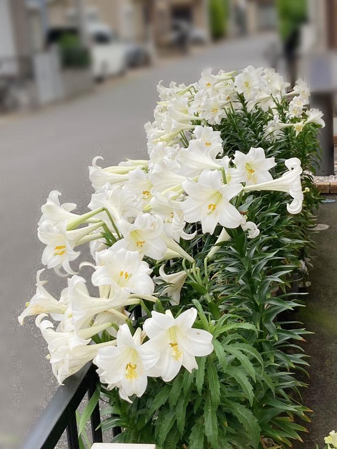 今年も百合の花、満開です